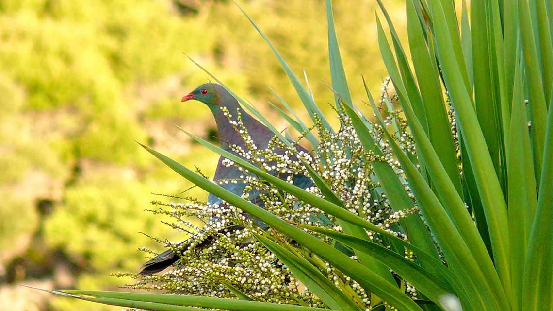 wood-pigeon-kereru
